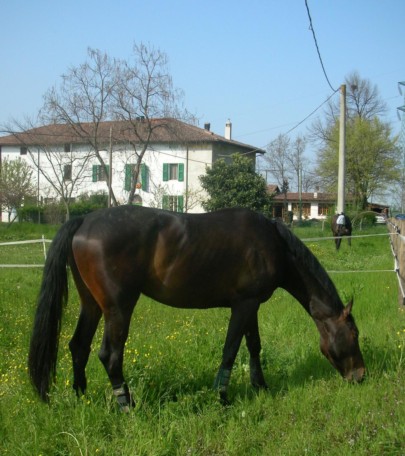 Cavallo domestico
