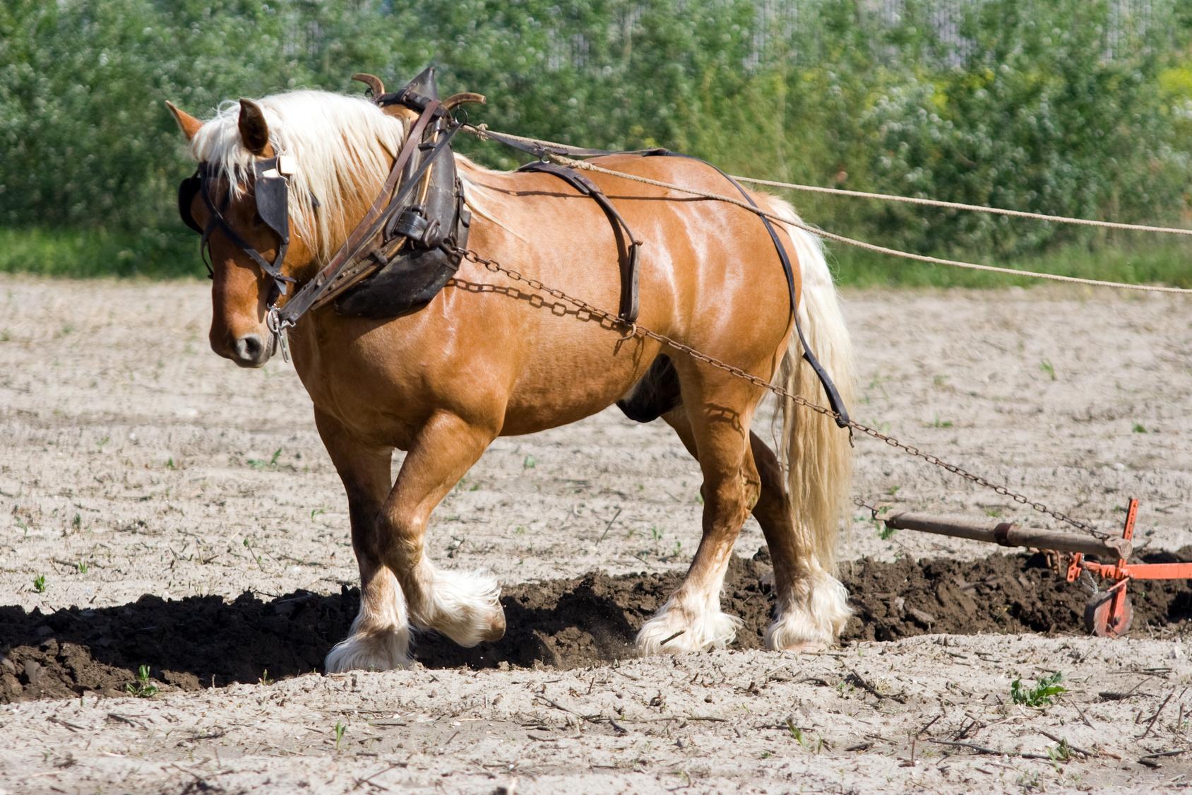 Storia del cavallo italiano